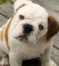 Olde-English-Bulldog-Puppy