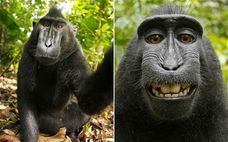 Wikipedia Not Monkeying About Over Ape Selfie 2