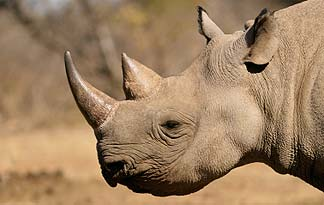 Rhino-Smuggling Antique Dealer Convicted In New York 2